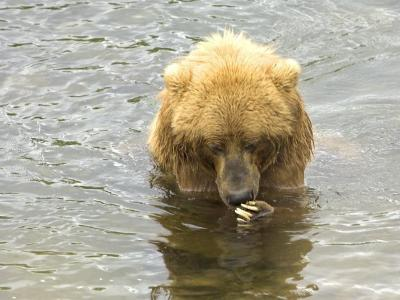Brown bear fishing for salmon in a river.