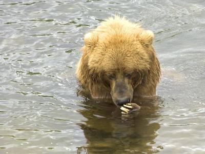 Brązowy niedźwiedź fruwający na skałach w rzece.