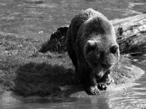 missing bear
